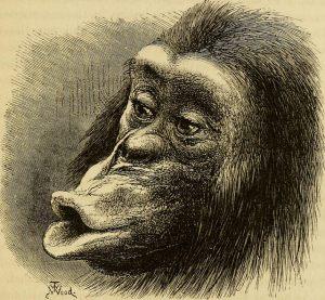 Visage de singe, gravure.